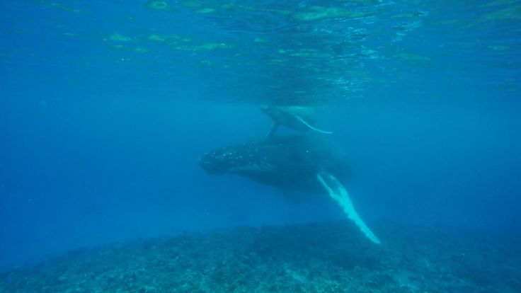 Mom & calf humpback whales swim right by us in Ha'apai, Tonga. Video taken during whale swimming excursion from Sandy Beach Resort.