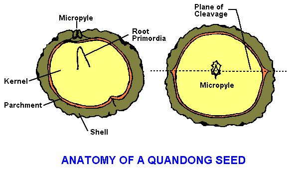Quandong seed cross-section