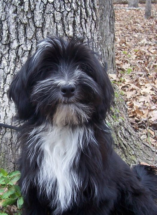 tibetan Terrier photo | Domani Tibetan Terriers: Our Dogs - Photo Gallery, Album 4, Photo 11