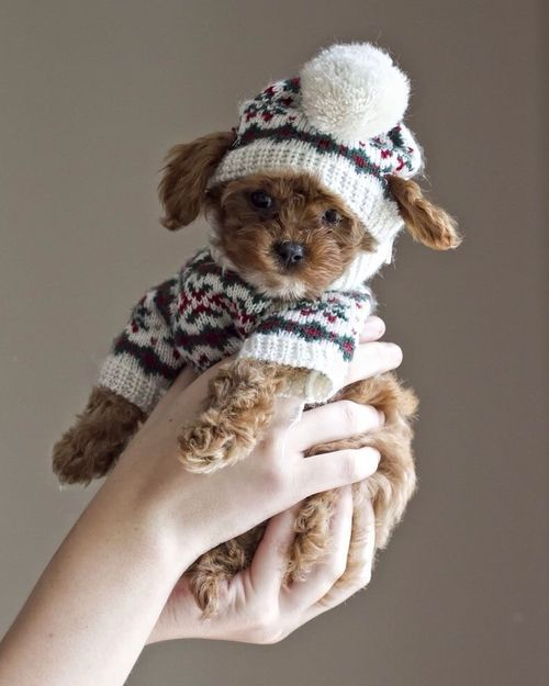 """winter puppy! * * """" Dohncha think dis is goin' a bit far? I'd rather have boots cuz of deh salt on deh sidewalks in winter."""""""