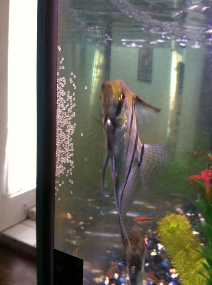 63 best fish for my tank images on pinterest fish for Koi fish eggs for sale