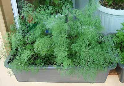 выращивание укропа на подоконнике зимой
