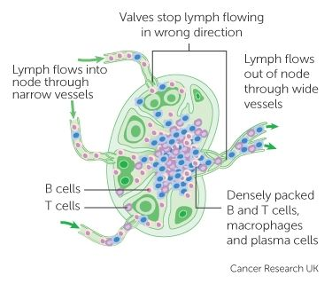 17 Best Ideas About Lymphatic System On Pinterest Lymph