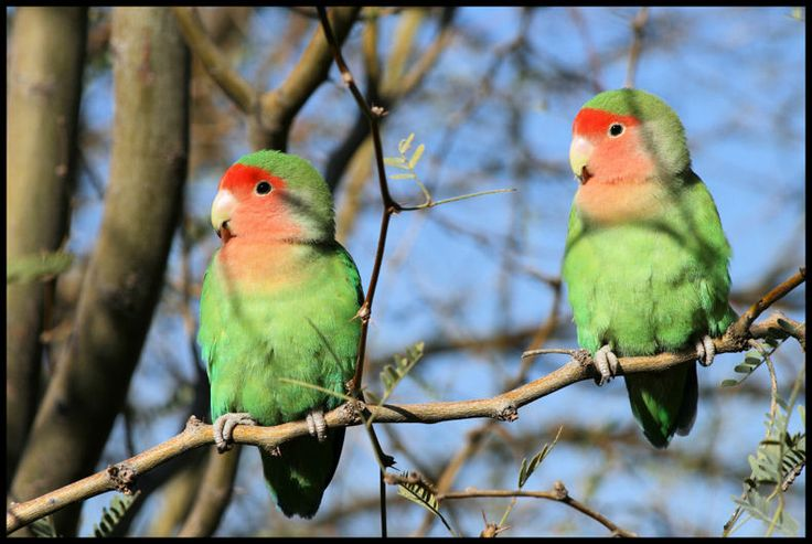 African lovebirds