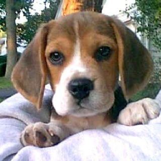 Beagle Puppy!! :)