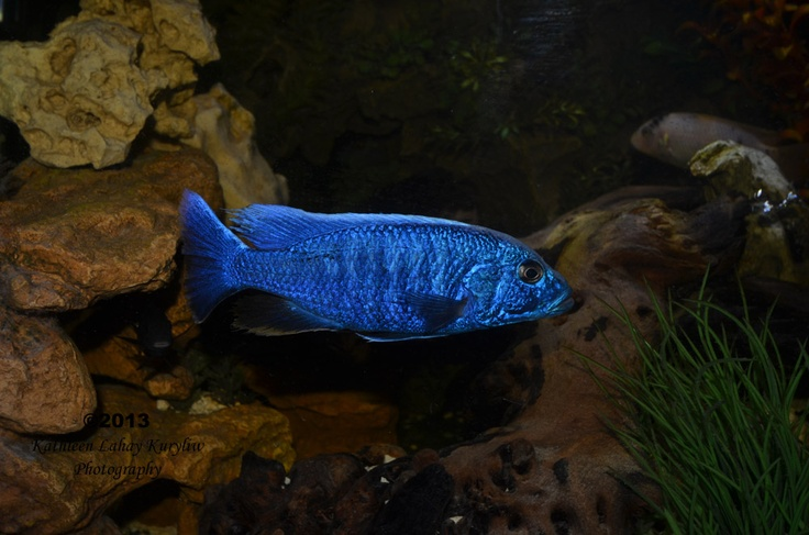 electric blue african cichlid - photo #27