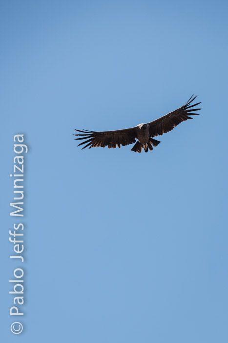 Cóndor andino (Vultur griphus)