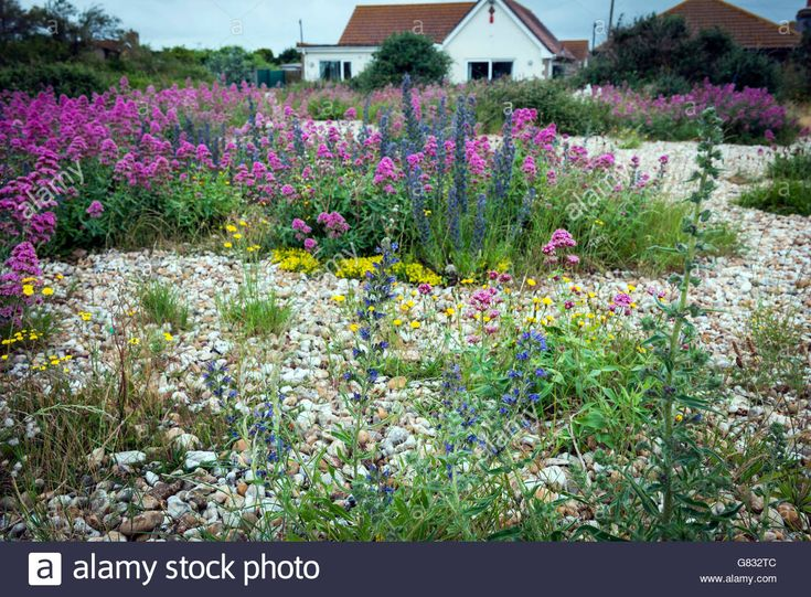 Wild Seaside Flowers On The Beach At Pagham Near Chichester, West Stock Photo, Royalty Free Image: 108247564 - Alamy