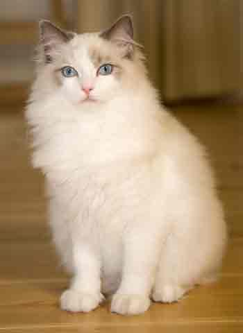 The Ragdoll Cat ~ is a breed with blue eyes and a distinct colorpoint coat. It is a large and muscular semi-long hair cat with silky coat.