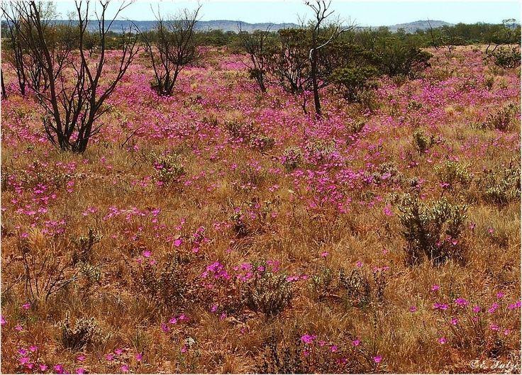Wildflowers Oodnadatta Track SA