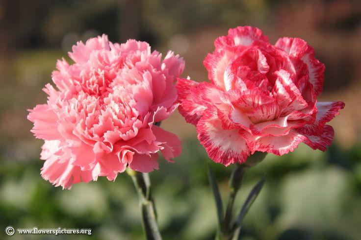 carnation images | Carnation flower picture (43)