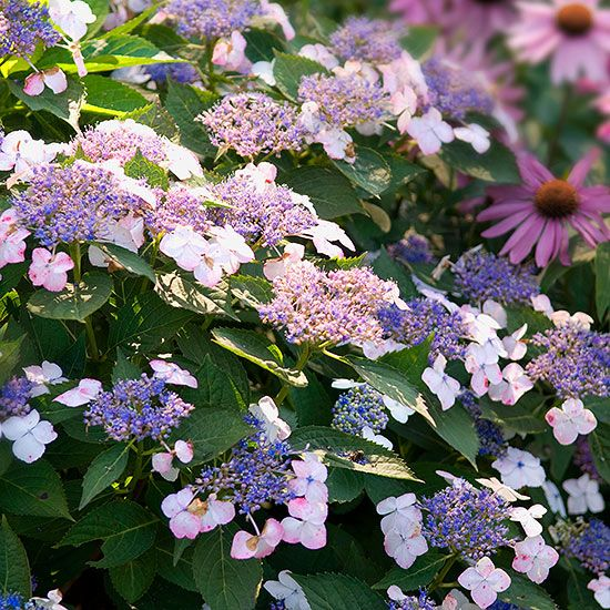 We have the top hydrangea picks, whether you're looking for flowers that fare well in sun or shade, ones that are easy to grow or will survive in cool weather, blooms that will provide color all season long or hydrangeas that will climb to new heights. Learn the tips and tricks for growing and pruning each type of hydrangea. Also, find out helpful hints and standout varieties of hydrangeas to try growing this year.