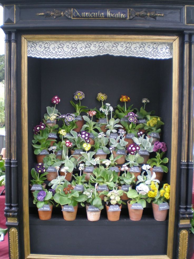 One of the prettiest Auricula Theatres I have ever seen, the lace trim is lovely!