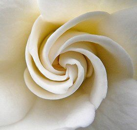 Fibonacci Spiral in an unfurling Rose