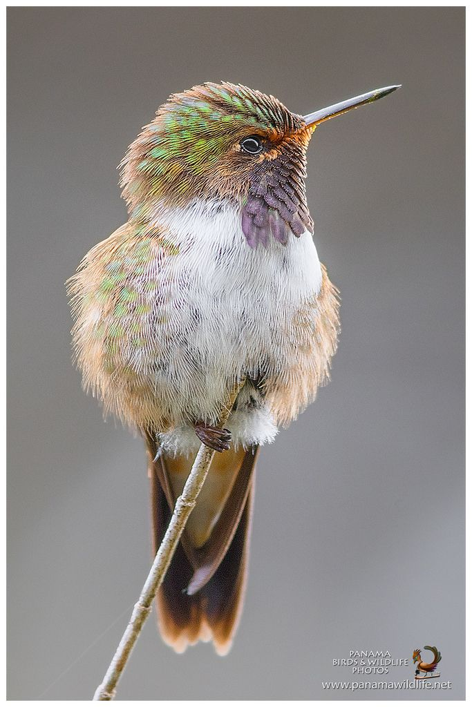 Volcano Hummingbird (Selasphorus flammula)