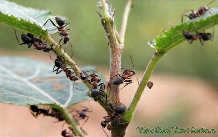 БОРЬБА С МУРАВЬЯМИ. ОЧЕНЬ ЭФФЕКТИВНЫЙ СПОСОБ!  Садовые муравьи наносят серьезный вред растениям, питаясь их соком. Очень большой урон саду приносит также симбиоз муравьев и тлей. Муравьи защищают тлю от божьей коровки, а взамен получают сахар. Борьба с муравьями необходима, если они наносят ущерб вашему саду или огороду. Если же они вам не досаждают, то советуем не вести борьбу с муравьями и не уничтожать насекомых.  1.Для борьбы с муравьями используют пижму, полынь горькую, мяту полевую…