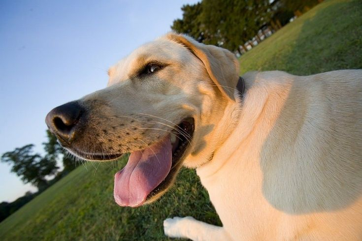 9 best dog food for labs in 2020 reviews and buying guide