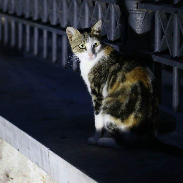 В Греции есть субкультура уличных котов. С ними выпускают календари открытки и футболки для туристов. Вот и я недавно в Афинах снял пару экземпляров. Это первый...