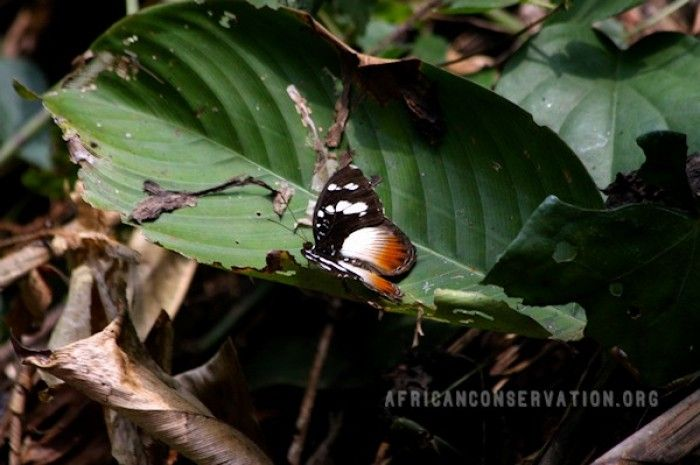 Tropical Butterfly Surveys and Conservation in the Rainforests of Cameroon