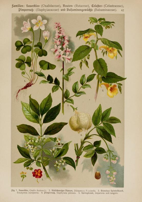 Hoffmann-Dennert botanischer Bilderatlas, nach ...