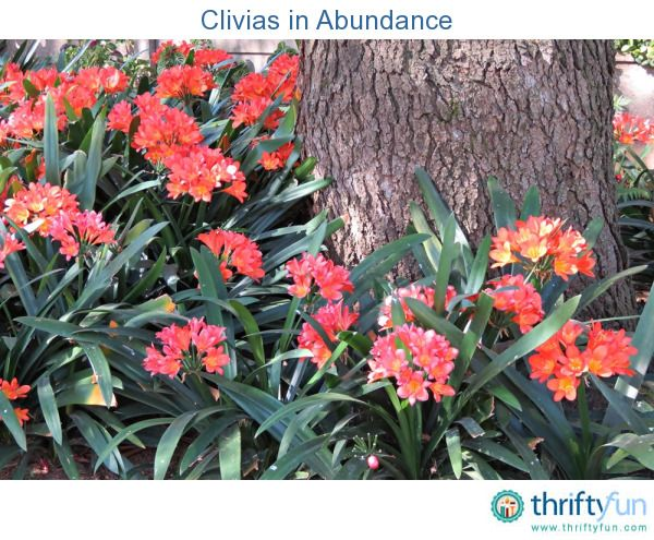 Photo of a garden filled with clivias.