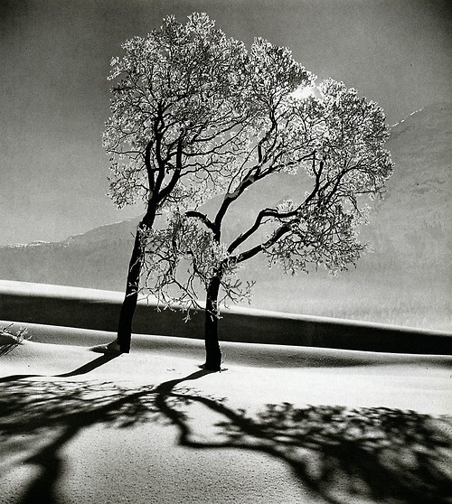 Tree in Snow, near Saint-Moritiz1947
