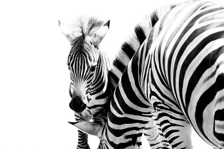 baby zebra by Eva Rios Ortega on 500px taken at Safari West in Santa Rosa