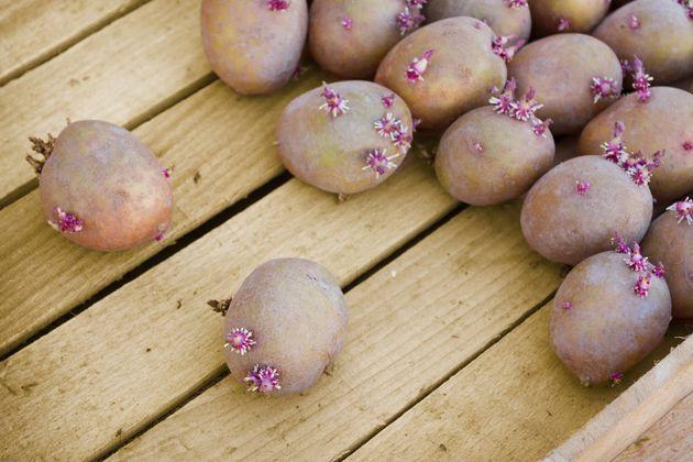 Апрель – время планирования и подготовки будущих посадок картофеля, нашего второго хлеба.  Картофель сажают, когда почва на глубине 10 см прогреется до 8–9°С. По народной примете, время его посадки с…