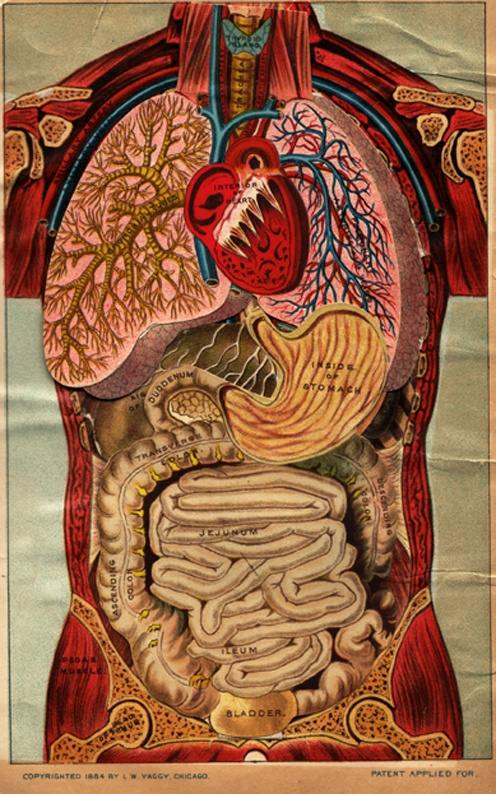 Human anatomy. Heart centered. <3