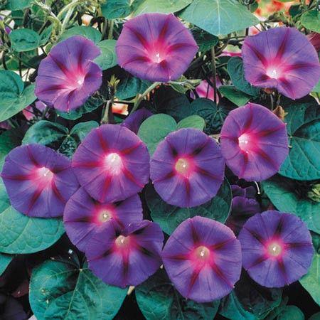 Häpnadsväckande lila blommar Fantastisk lila - blå trumpetblommorhälsar dig varje morgon . Väx upp staket , genom spaljé eller andra växter som klätterrosor . Tänk dig att se dessa levande blommor i sitt eget hem i sydamerikanska regnskogar . [25,00 kr]