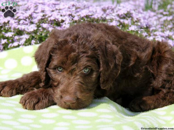 Mister , a Chocolate Labradoodle puppy for sale from