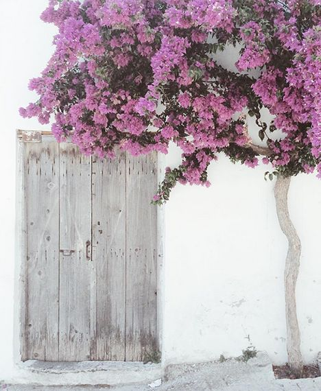 A lovely bougainvillea tree in Crete.