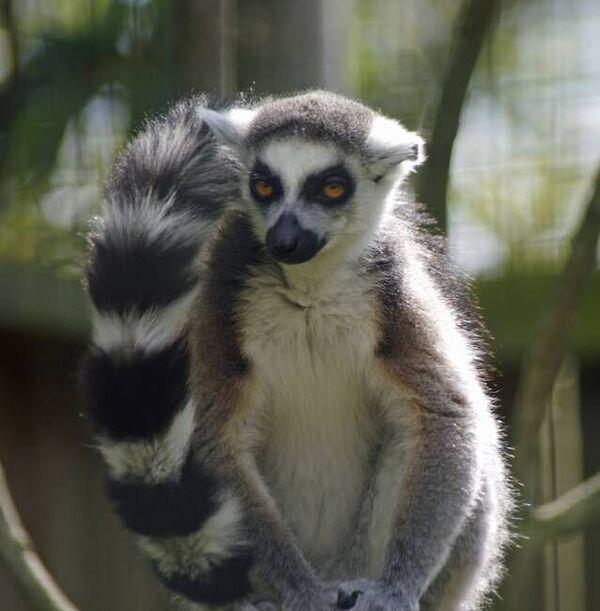Dropbox - 20120513-Evil-Lemur.jpg