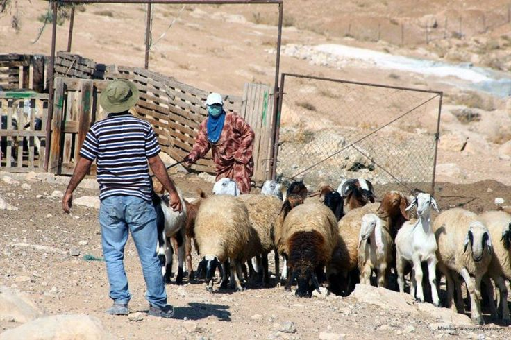 Pemukim Ilegal Yahudi dan Serdadu Zionis Pukuli Penggembala Palestina di Lembah Yordan  Penggembala Palestina menggiring dombanya di desa Jimba di sebelah selatan Yatta dekat Al-Khalil Tepi Barat terjajah pada 1 Oktober 2013. Foto: Mamoun Wazwaz/Apaimages  LONDON Senin (Middle East Monitor): Tiga pemukim ilegal Yahudi dan dua serdadu Zionis menyerang tiga penggembala Palestina yang sedang menggembalakan ternak mereka pada Jumat (10/2) pagi di dekat permukiman ilegal Yahudi di bagian utara…