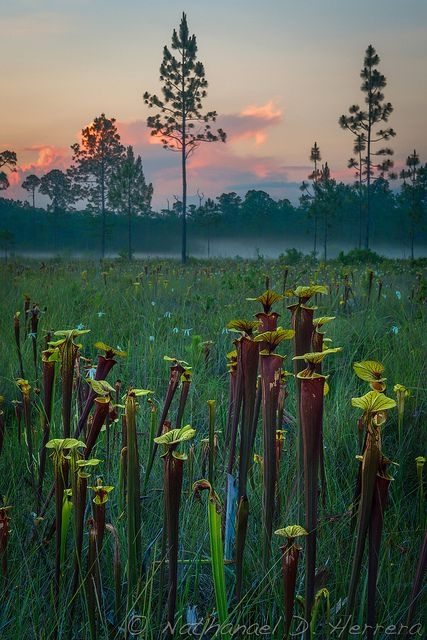 Approaching fog in a pitcher plant bog--Liberty County, Florida
