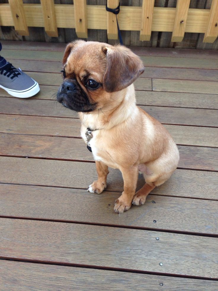 Pugalier Pug x King Charles Cavalier I want one so bad.