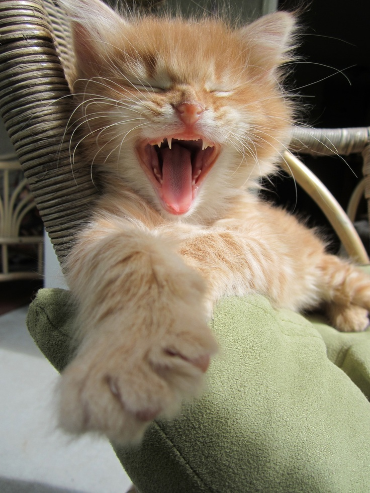 .: Laughing Cat, Orange Cat, Dogs, Friends, Cat Fans, Cat Meow, Funniest Things, Photo, Adorable Animal