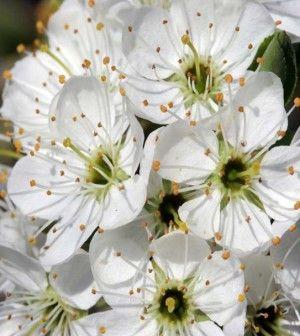 Biancospino: la pianta salva-cuore che placa gli stati ansiosi
