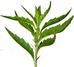 What is Epazote? Culinary uses and health benefits of epazote, including origin, varieties, plant description and epazote recipes.