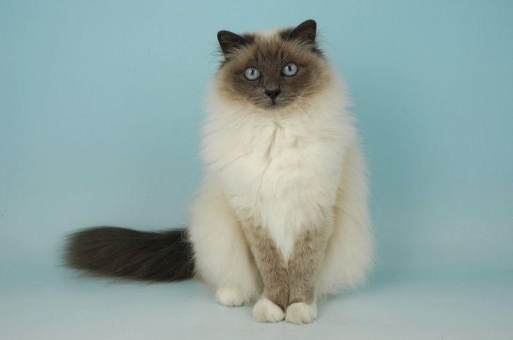 Birman Cat | Birman Kittens For Sale Birman Cats For Sale Birman Cats up For Stud ...