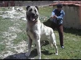 Sivas Kangal Dog