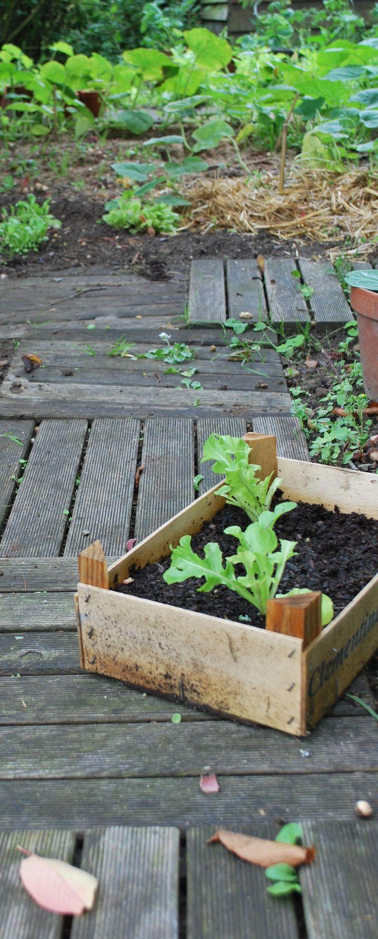 salades dans caisse en bois pour cl mentines potager 2014 ext rieur nature jardin potager