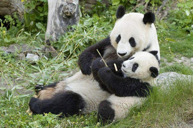 Fu Long, the first Panda cup born 2007 at Zoo Vienna