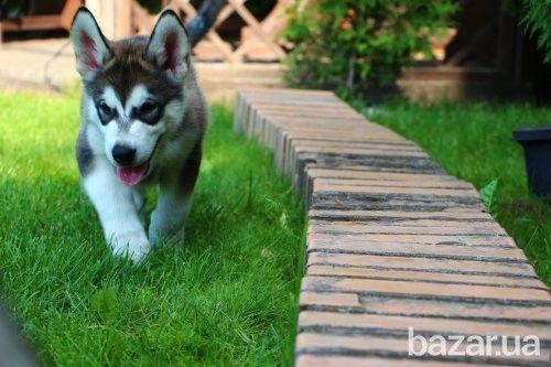 Щенки Аляскинского маламута - Собаки Киев на Bazar.ua
