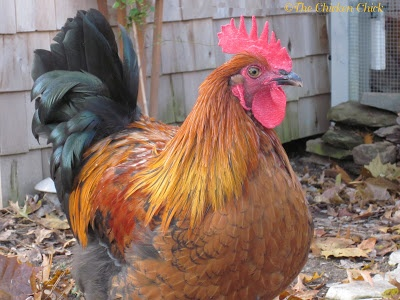Max & (St)Eve's Story: A Tale of Two Roosters