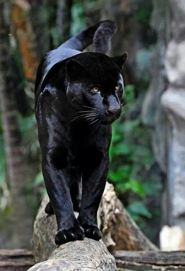 Beautiful Black Panther                                                                                                                                                                                 More