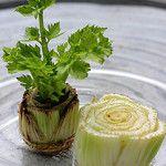 Выращивание сельдерея в домашних условиях: выгонка из стебля в воде