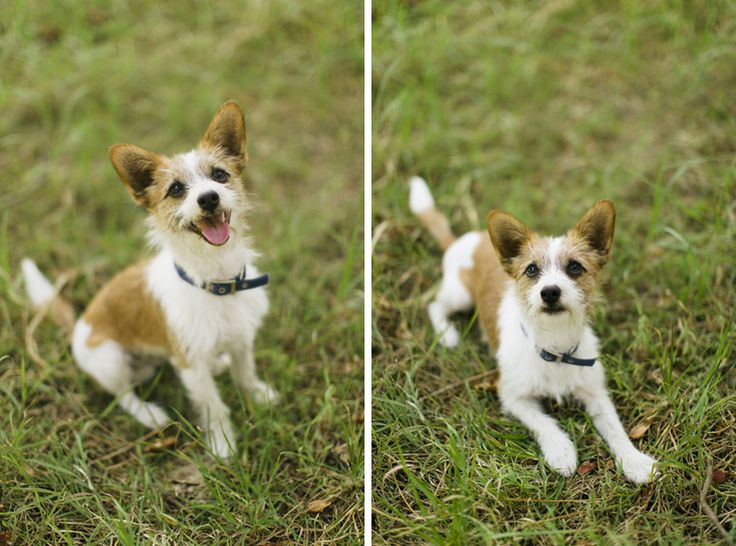 Portrait of Bailey, a Jack Russel Terrier. Central Coast dog photographer. Image: Cavanagh Photography http://adamcavanagh.com.au