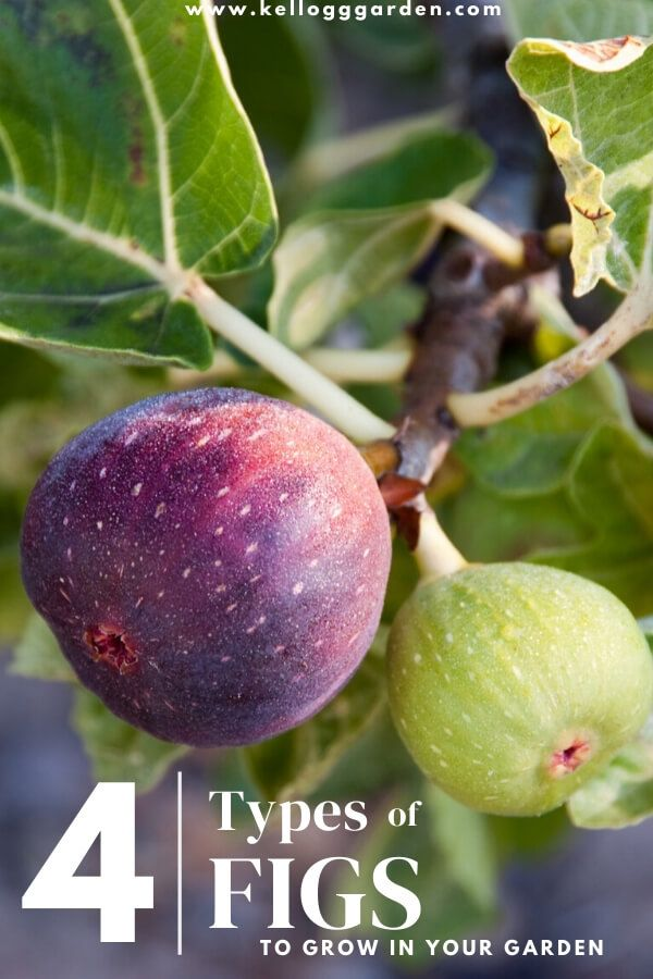 Types Of Figs To Grow Fast Growing Fruit Trees Growing Fruit Trees Fig