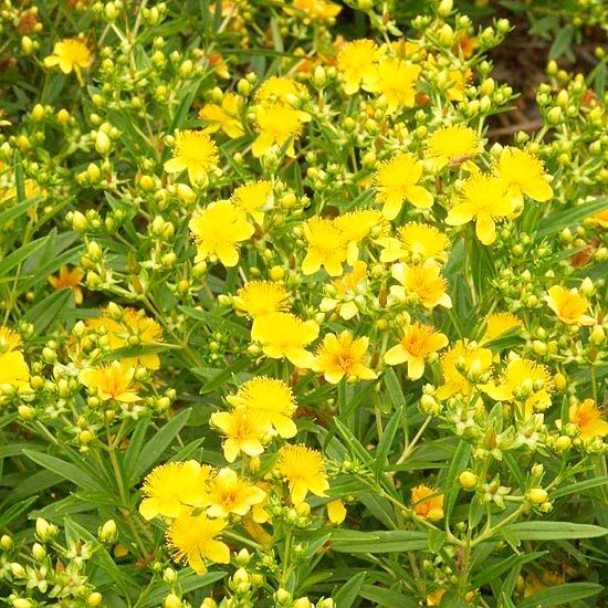 1000 ideas about flowering shrubs on pinterest shrubs for Tall flowering shrubs